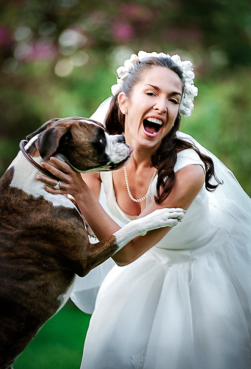 Boxer puppy greets bride with a kiss.