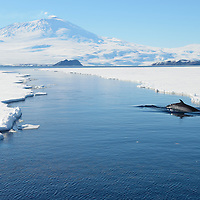A Minke Whale dives under the ice in an open lead in McMurdo Sound, Antarctica.  Mount Erebus, an active volcano, can be seen with steam coming from near the summit.