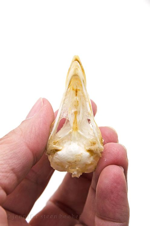 Grouse skull (Bonasa umbellus)