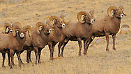 In late October, bachelor herds of bighorn rams gather together on McMinn Bench in Yellowstone Park. During this time, rams spar with each other in an attempt to establish dominance prior to the upcoming rut.