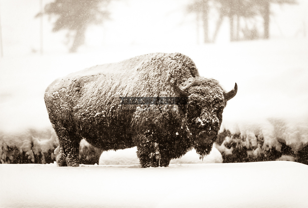 A sepia toned bison standing in the snow in Yellowstone National Park in the Winter.  Limited Edition - 75