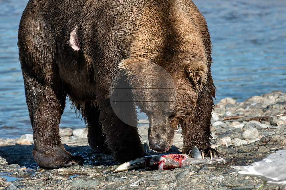 A large adult grizzly bear rips apart a chum salmon caught in the upper McNeil River falls at the McNeil River State Game Sanctuary on the Kenai Peninsula, Alaska. Bears eat the skin first, then the row eggs before devouring the flesh of the salmon. The remote site is accessed only with a special permit and is the world's largest seasonal population of brown bears.
