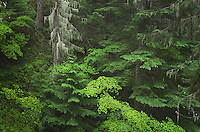 Old Growth Forest, Glacier Peak Wilderness North Cascades Washington