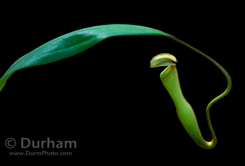 Khasiana Pitcher Plant (Nepenthes khasiana) pitcher pod. This endangered plant is native to the Khasi Hills of India.