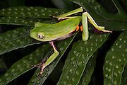 Agua Rica Leaf Frog (Phyllomedusa ecuatoriana)<br /> CAPTIVE<br /> Amazon slopes<br /> ECUADOR. South America<br /> Threatened species due to habitat loss.<br /> RANGE: Known only from Agua Rica inEcuador<br /> 1890m.<br /> ENDANGERED