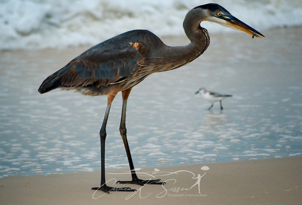 A Great Blue Heron holds a fish between its bill as it feeds Dec. 25, 2011 on Dauphin Island, Alabama. (Photo by Carmen K. Sisson/Cloudybright)