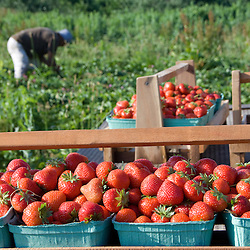 Morning Dew Orchards strawberries being picked mere hours before customers will buy them at a local farmers market.