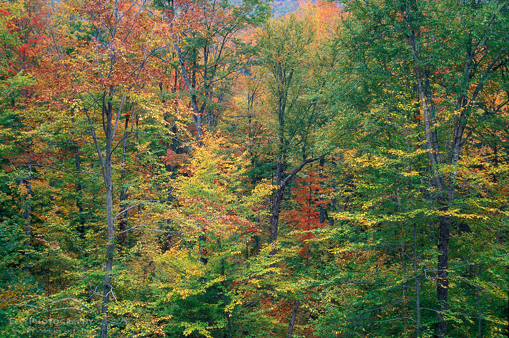 Fall in New England. Northern hardwood forest, near Mt. Cleveland.  White Mountain N.F., NH