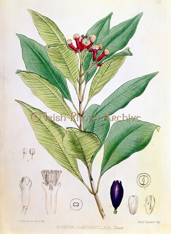 Clove, flower bud of Syzygium aromaticum (Eugenia carophyllata) tropical evergreen tree Native to Moluccas or Spice Islands, Indonesia. Dutch controlled trade during 1600s. In 1700s French smuggled out plants and broke monopoly. Clove used a flavouring in cooking. Oil of cloves used for pain relief in toothache, in germicides and perfumes.  Hand-coloured engraving.