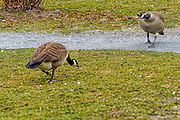 A pair of Canada geese angrily squawking at each other