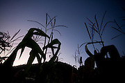 Domingos Martins_ES, Brasil...Silhueta de uma plantacao de milho estrada historica denominada Rota Imperial da Estrada Real, antiga estrada Dom Pedro de Alcantra...A silhouette of corn plantation next to ancient Rota Imperial, know as Dom Pedro de Alcantara road...Foto: LEO DRUMOND / NITRO