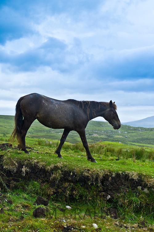 Connemara pony on hill slope, Connemara, County Galway, Ireland