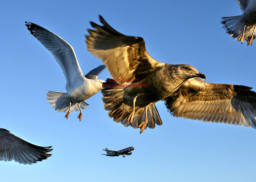 Hungry Seagulls check for food on the coast of Winthrop as a landing jet arrives at Logan International Airport.
