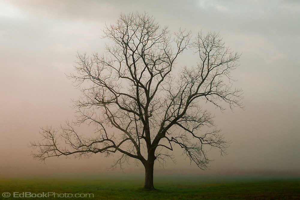 Late autumn decidious tree with bare branches standing in a field in morning fog at Cade's Cove in Great Smokey Mountains National Park, Tennessee, USA.