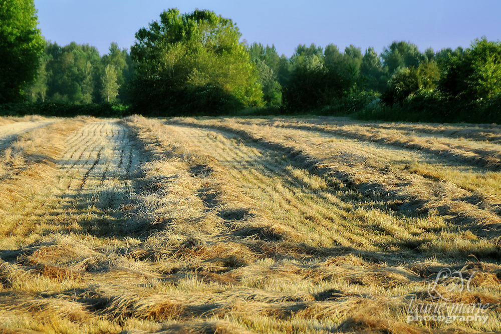 The rows of cut hay in this field are ready to be baled. There is also a vertical crop of this.