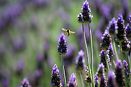 Honey bee on lavender, Toodyay, Avon Valley, Western Australia