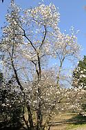 France, Languedoc Roussillon, Gard, Cévennes, Anduze, Prafrance, La Bambouseraie, Magnolia Kobus Norman Gould