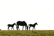 In der halboffenen Weidelandschaft in Crawinkel, Thüringen, leben gemischte Herden auf den Weiden. | Horses in mixed herds grazing on the fields in Crawinkel.