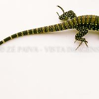 "Filhote de lagarto-do-papo-amarelo, ""tupinambis meraneae"", Santa Catarina, Brasil, 00/00/2003. foto de Ze Paiva/Vista Imagens"