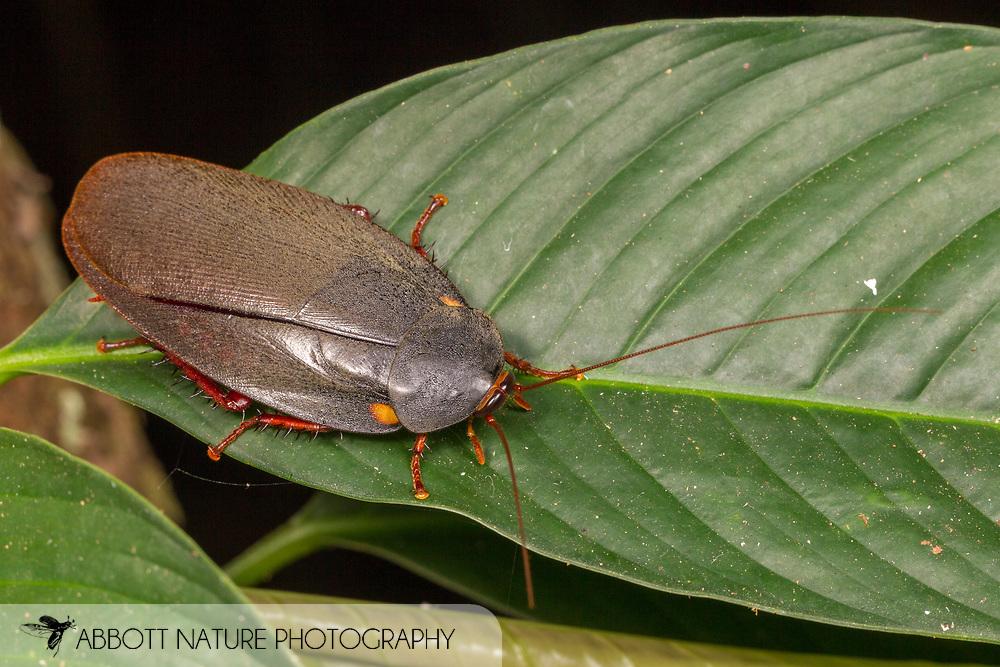 Corydiid Roach<br /> Peru: Departamento de Madre de Dios Co.<br /> Refugio Amazonas on the Tambopata River<br /> 30-Jul-2016<br /> J.C. Abbott #2857 &amp; K.K. Abbott