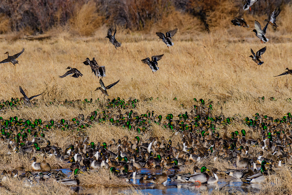 Northern Pintail [Anas acuta], Mallards [Anas platyrhynchos] feeding on refuge wetland; Bosque del Apache NWR., NM
