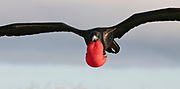 Magnificent Frigatebird (Frigata magnificens) at North Seymour, Galapagos.