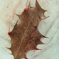 Barbed dried brown winter leaf of Holly or Ilex aquifolium tree lying in ice and tinged with blood