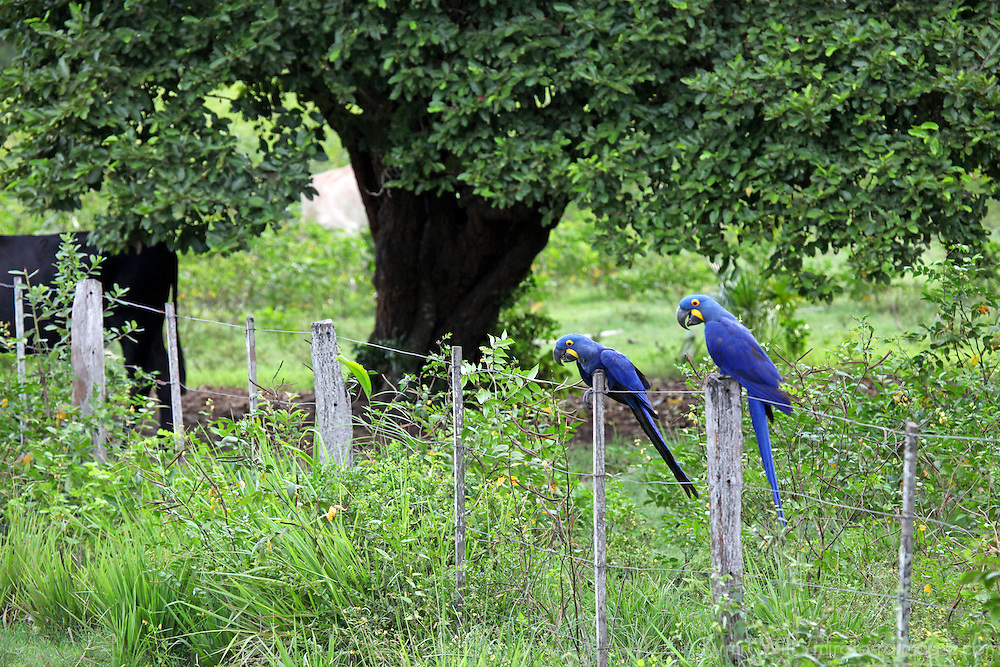 South America, Brazil, Pantanal. The endangered Hyacinth Macaw at home in the Pantanal.