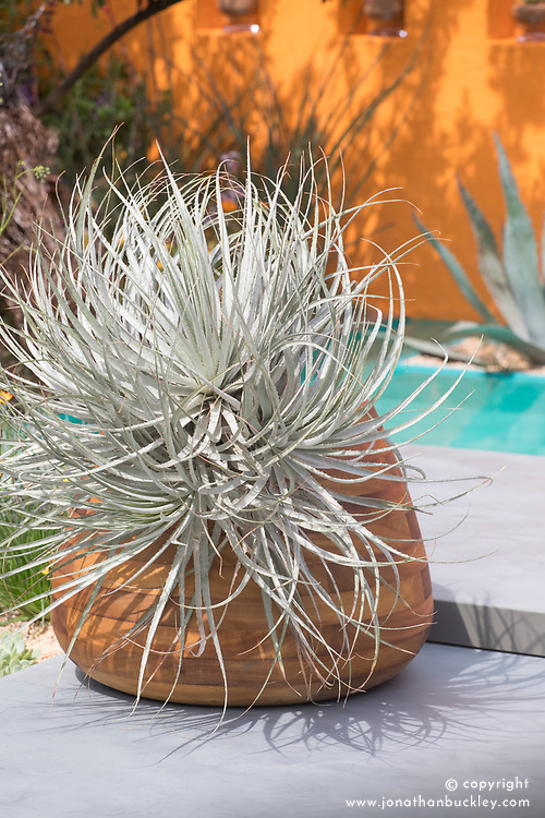 Puya coerulea<br /> Beneath a Mexican Sky Garden<br /> RHS Chelsea Flower Show 2017<br /> Design: Manoj Malde<br /> Built by: Living Landscapes<br /> Sponsored by: Inland Homes PLC<br /> Photography &copy; Copyright Jonathan Buckley