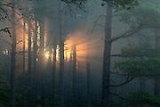 Sun splintering through pine forest at dawn, Strathspey, Cairngorms National Park, Scotland