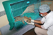 "EXCLUSIVE - video also available<br /> <br /> Cute Lion Cub abandoned by its mother uses staff as Parent<br /> <br /> A lion club abandoned by its mother has developed a parental relationship with its care-taker in Jodhpur, Rajasthan, India. An Asiatic Lioness gave birth to three cubs at Machia Safari Park on October 22. But the mother soon deserted trio within days. The separation resulted in the death of two cubs, while the third one was rescued by the park's staff. <br /> <br /> The cub is fed bottled milk at an interval four hours everyday. Dr Shravan Singh, one his care-takers at the centre, says: ""The baby starts crying whenever it feels hungry. It responds to our command and loves to caressed before being fed. The baby thinks that we are its parents. So demands the due care and attention from us.""<br /> <br /> The forest rangers intend to release the cub back into the wild after four to five months when it gains weight and is able to defend itself. <br /> ©NewsLions/Exclusivepix Media"