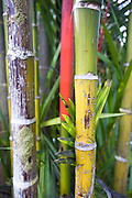 Colorful red and green bamboo.