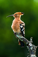 African Hoopoe on its perch, Addo Elephant National Park, Eastern Cape, South Africa,
