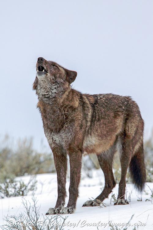 Gray wolf howls in winter habitat