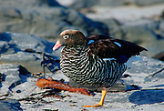 Female Kelp goose standing on one leg, Falkland Isles, South Atlantic