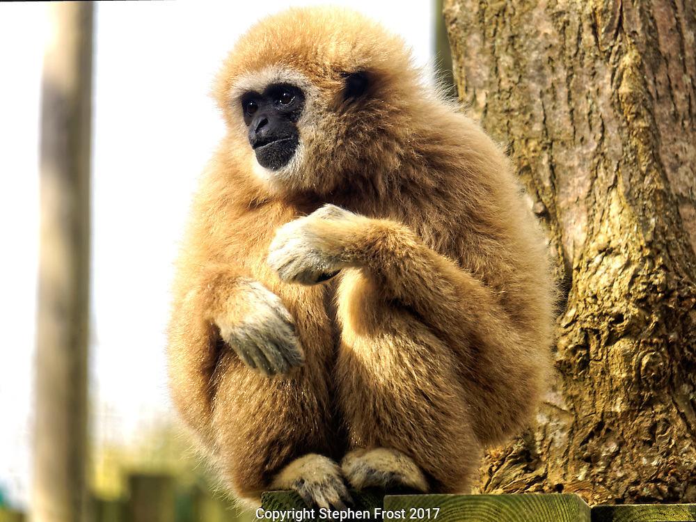 A lar gibbon Hylobates lar, also known as a white-handed gibbon, looking wistful.
