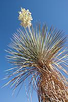 Soaptree Yucca, (Yucca elata), Highway 90, Valentine, TX
