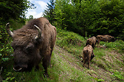 Four European bisons, Bison bonasus, after the release in the wild. Life Re-Bison is a project organized by the Rewilding Europe foundation and supported by several European zoos and with the financial help of the European Commission.