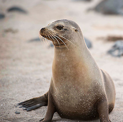 Seal, Galapagos Islands.