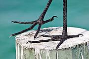 Great Egret, Ardea alba, also known as the Great White Egret or Common Egret, Anna Maria Island, Florida, USA