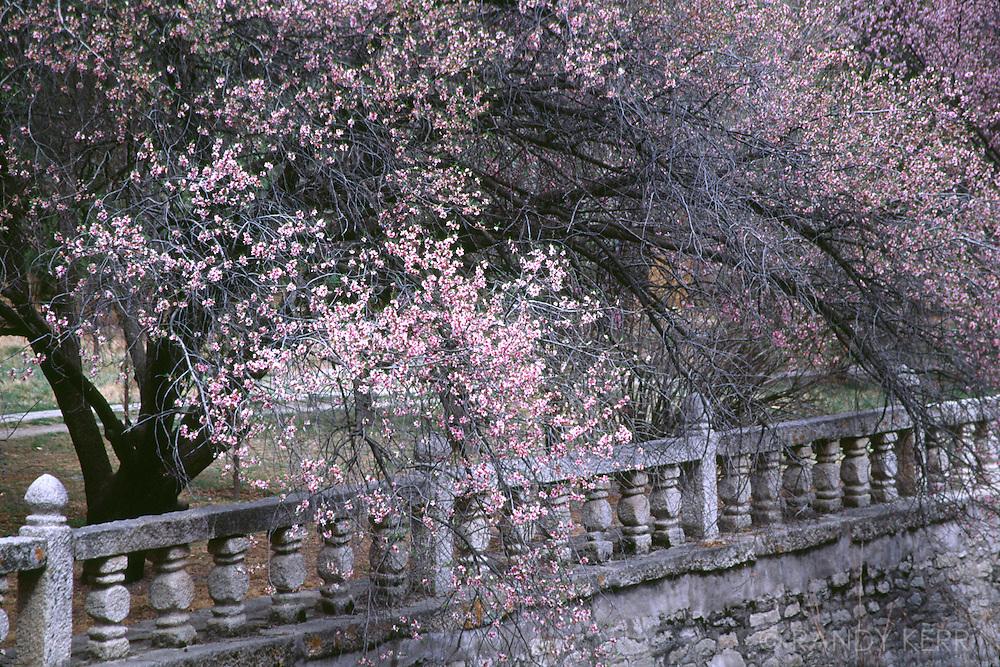 Cherry blossums at the Dalai Lama's courtyard