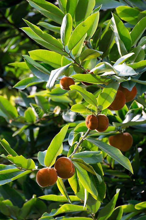 Diospyros blancoi (Butter fruit, Velvet apple, Mabolo) fruit - member of the ebony family. Singapore Botanic Garden, Singapore.