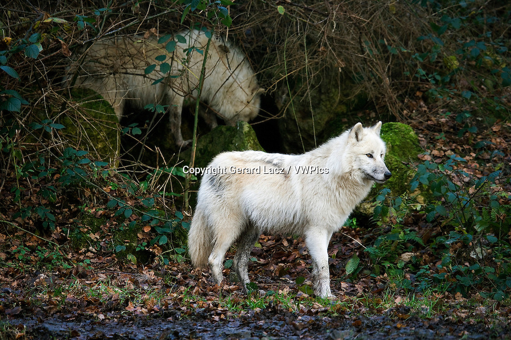 Arctic Wolf, canis lupus tundrarum, Adults