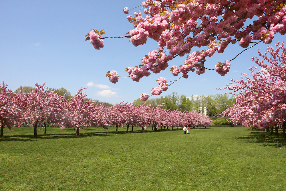 The famous cherry blossom grove in full bloom, May 2007.