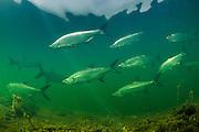 Tarpon (Megalops atlanticus)<br /> Caye Caulker<br /> Ambergris Caye<br /> Belize<br /> Central America