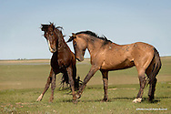 Wild Horse<br /> Cheyenne River Sioux Reservation, South Dakota<br /> <br /> This stand off between these two stallions could have easily turned into a fight as they went through the process of establishing their hierarchy within in the herd. <br /> <br /> <br /> Edition of 500