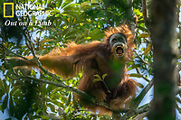 Tapanuli Orangutan (Pongo tapanuliensis).<br /> <br /> Unidentified unflanged adult male making threatening display towards, Togus, the resident adult flanged male <br /> <br /> Batang Toru Forest<br /> Sumatran Orangutan Conservation Project<br /> North Sumatran Province <br /> Indonesia