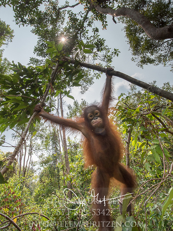 A juvenile Bornean orangutan, Pongo pygmaeus swings in the tress of Tanjung Puting in Borneo, Indonesia.