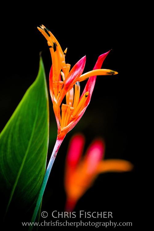 Beautiful orange flower in Singapore.