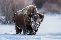 Bison im Grand Teton Nationalpark, USA